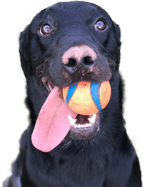 black dog with a ball in its mouth