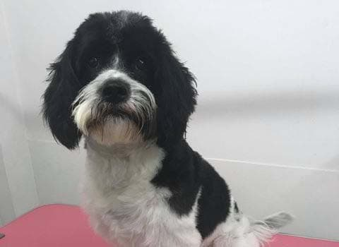 dog after it has been groomed at torbay tails pet